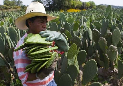 The cactus was considered sacred by the ancient Aztecs, and modern-day Mexicans eat it, drink it, and even use it in medicines a