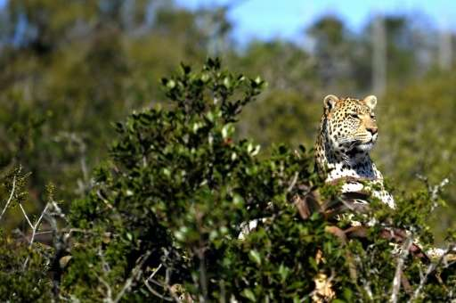 The clash between humans and leopards, experts agree, is mostly due to humanity's expanding footprint, especially in Africa, who