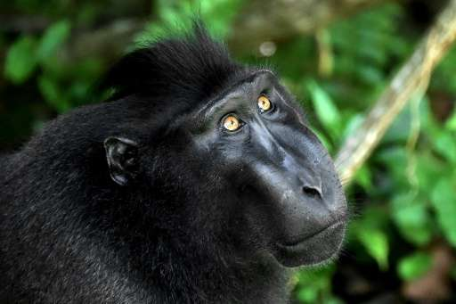 The crested black macaque shot to fame when one of the monkeys snapped grinning selfies and became embroiled in a US court battl