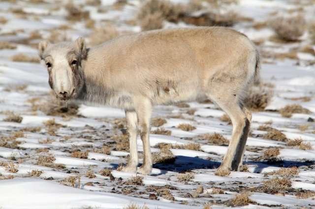 The fight against goat plague