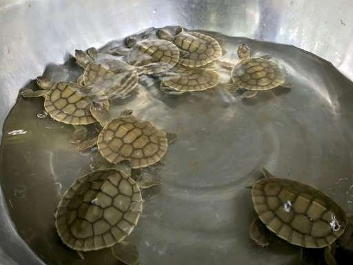 The freshwater turtle, also known as the southern river terrapin, was thought to be extinct in Cambodia until 2000
