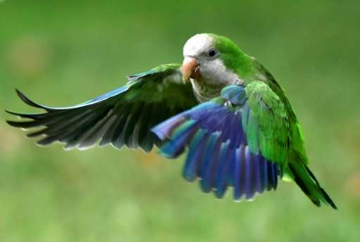 The monk parakeet, also known as the quaker parrot, is an invasive species that has become a problem to local fauna such as pige