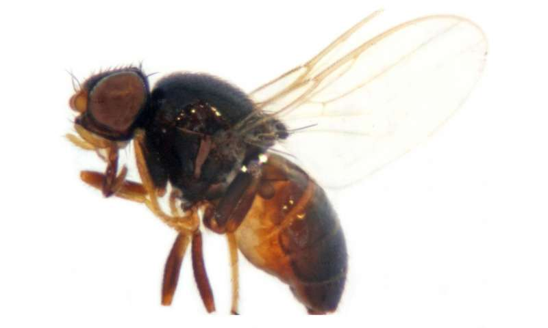 The Oriental eye fly that transmits conjunctivitis newly recorded in China