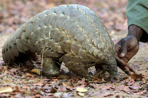 The Pangolin, an endangered species, is considered the most trafficked mammal on earth, with its scales highly prized in Vietnam