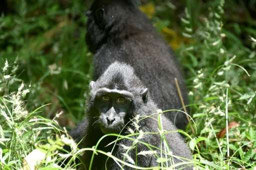 The population of black crested macaques (Macaca nigra) in its natural habitat on Sulawesi has dropped more than 80% in four dec