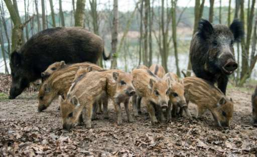 The problem of wild boars running riot in populated zones affects countries the world over, in large part due to rampant urbanis
