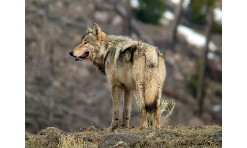 The redomestication of wolves