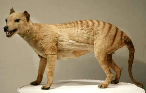 The Thylacine survived in the southern island state of Tasmania until 1936 when the last known one died in captivity at Hobart Z