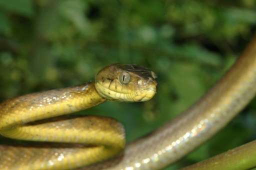 The venomous brown treesnake can grow up to three metres in length