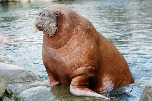 The walrus is both unique, and especially sensitive to environmental changes, experts noted