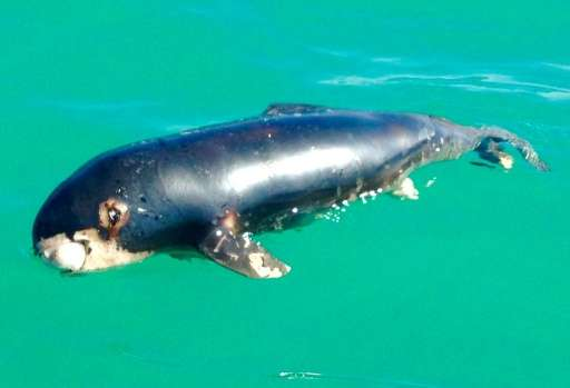 The World Wildlife Fund (WWF) has warned the vaquita risks going extinct in 2018