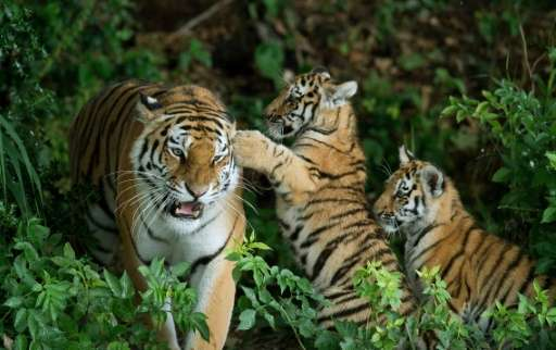 Wild tigers to reappear in Kazakhstan after 70 years