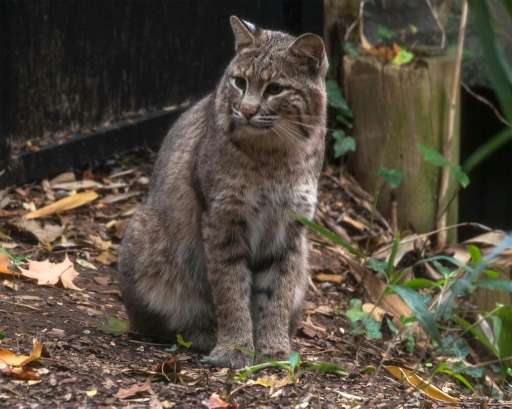 This image released by the Smithsonian National Zoo in 2013 shows a female bobcat named Ollie