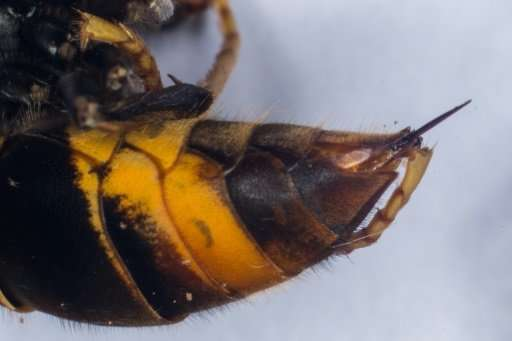 This photo shows the sting of a Asian Hornet (Vespa Velutina)