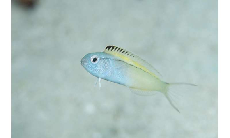 This timid little fish escapes predators by injecting them with opioid-laced venom