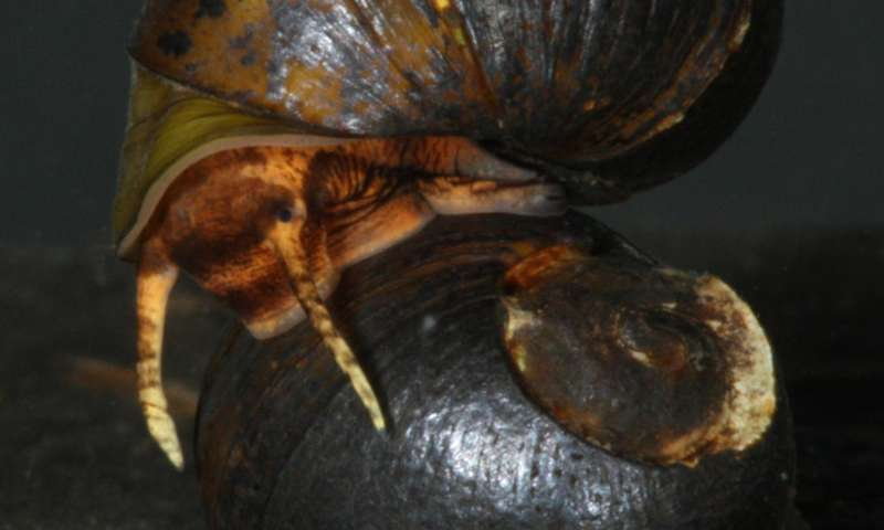 Threatened Alabama snail renamed after a case of mistaken identity