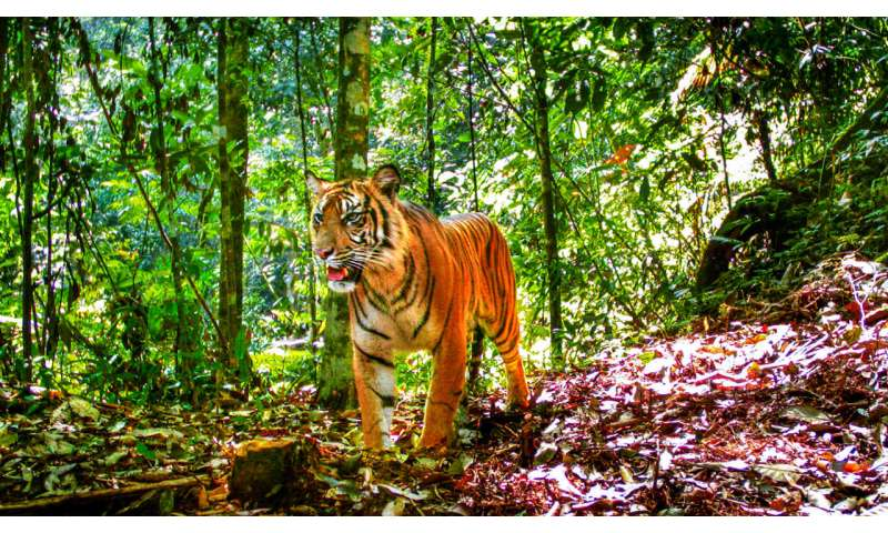 Tigers cling to survival in Sumatra's increasingly fragmented forests