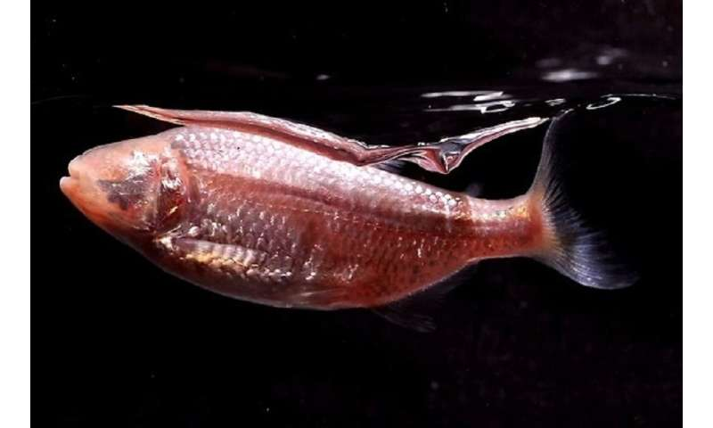Tiny cavefish may help humans evolve to require very little sleep