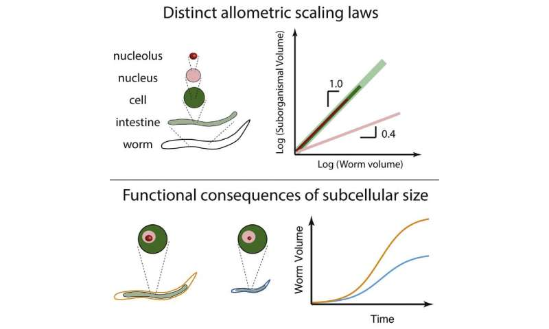 Tiny component of cells indicates size of overall animal