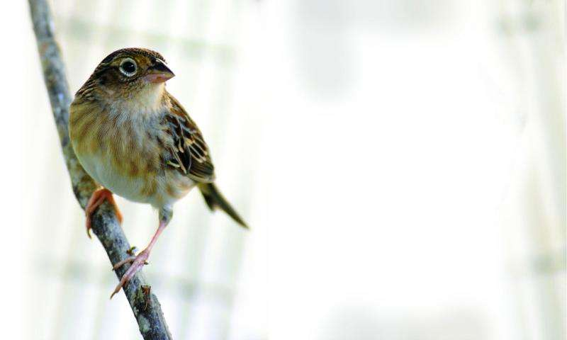 Tiny songbird won't be silenced