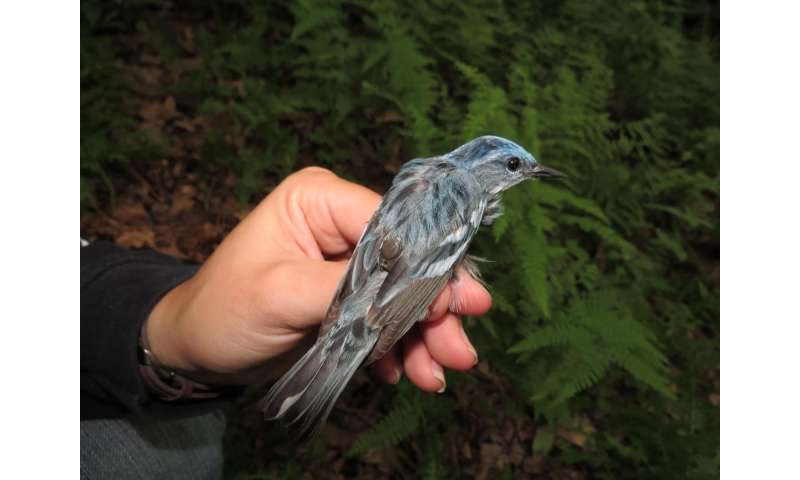 Tracking devices reduce warblers' chances of returning from migration