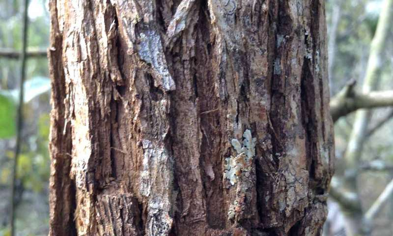 Tree Bark Thickness Indicates Fire Resistance In A Hotter Future
