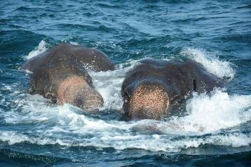 Two elephants struggle to stay afloat in the deep seas about one kilometre off the coast of Sri Lanka
