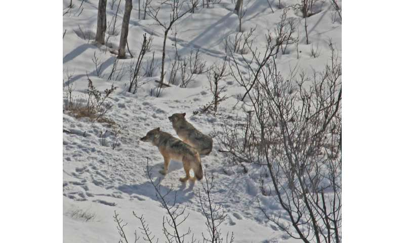 Two in the pack: No changes for Isle Royale wolves