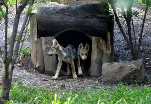 Two out of seven wolf cubs born in April 2017 are seen in the Zoologico los Coyotes in Mexico City