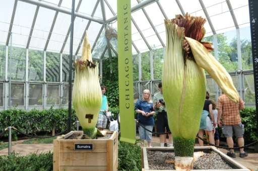 Two seven-foot-tall corpse flowers at the Chicago Botanic Garden have attracted thousands of visitors this week, despite the sme