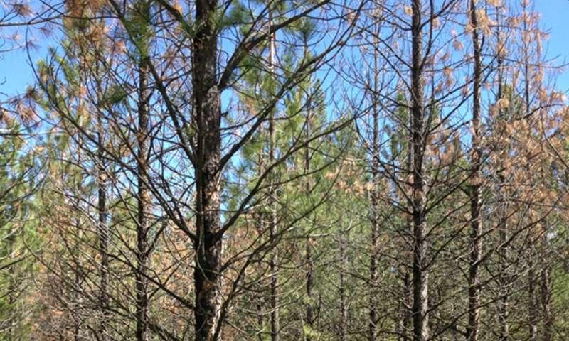 UM tesearch: Slow-growing ponderosas survive mountain pine beetle outbreaks