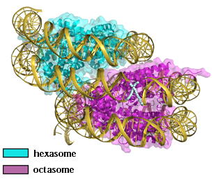 Unveiling how nucleosome repositioning occurs to shed light on genetic diseases