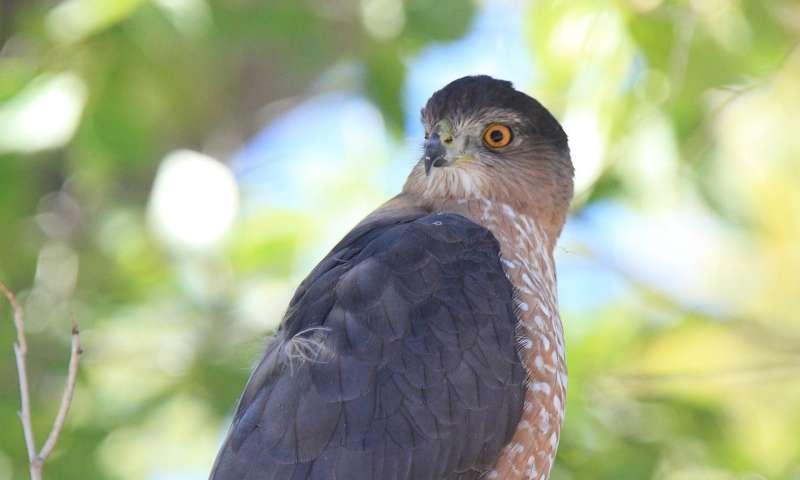 Urban Cooper's hawks outcompete their rural neighbors