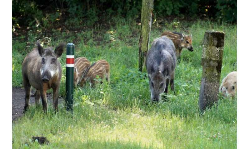 Urban wild boars prefer natural food resources