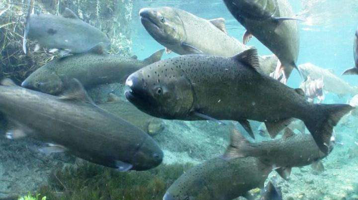 USGS news: Changing tides: Lake Michigan could best support lake trout and steelhead