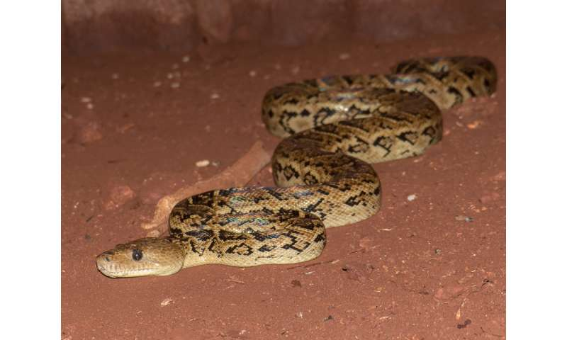 UT study shows snakes, thought to be solitary eaters, coordinate hunts