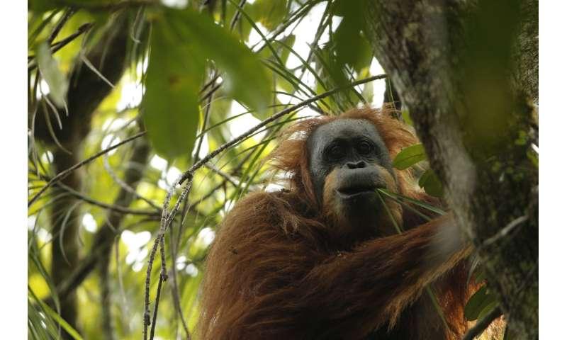 UZH anthropologists describe third orangutan species