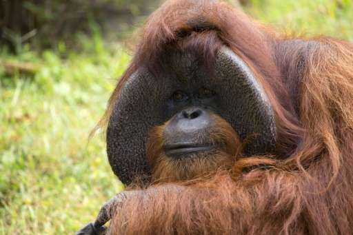 Veterinarians at Zoo Atlanta had been treating Chantek for heart disease, but officials were reluctant to give a firm cause of a