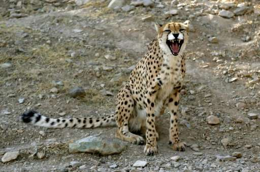 Vets are hopeful two captive Asiatic Cheetahs at Tehran's Pardisan's Park will create offspring now they have started mating
