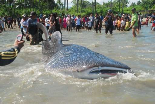 Villagers gather to watch as fishermen pull a trapped whale shark to shore in Palu bay in central Sulawesi in order to check its