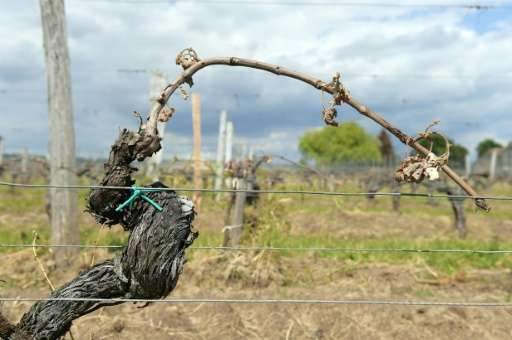 Vineyards in France's Bordeaux region were partially destroyed after a late-season frost