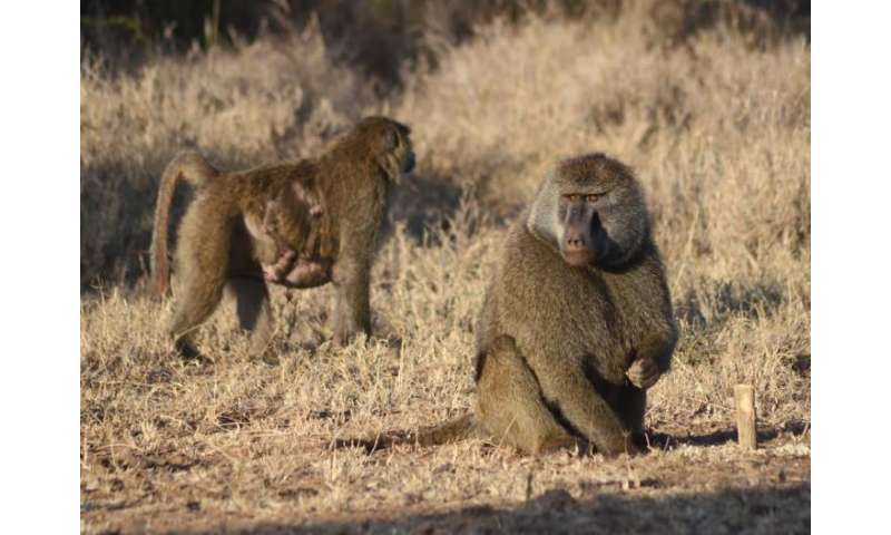 Wallflower center pack baboons find place