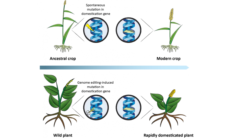 Want more crop variety? Researchers propose using CRISPR to accelerate plant domestication