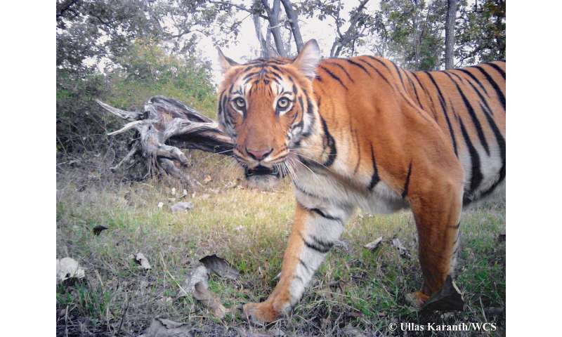 Want to save tigers? Better have your numbers straight