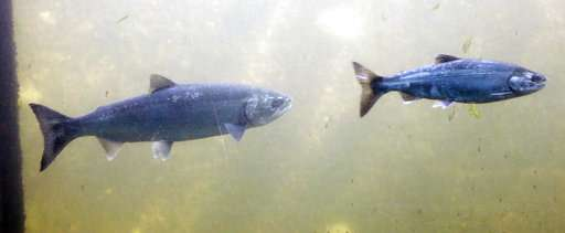 Warm waters off West Coast has lingering effects for salmon