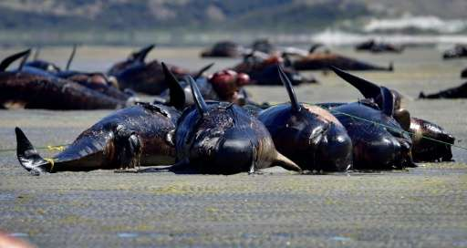 Whale strandings can occur for natural reasons, like age and disease, or from man-made disruption, such as environmental degrada