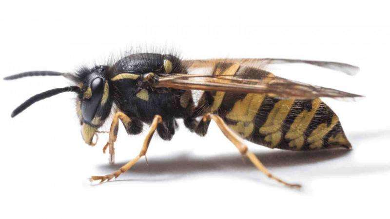 What will the wasp plague be like this year?