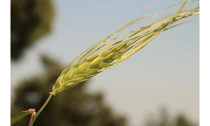 Wheat genome sequencing provides 'time tunnel' -- boosting future food production & safety