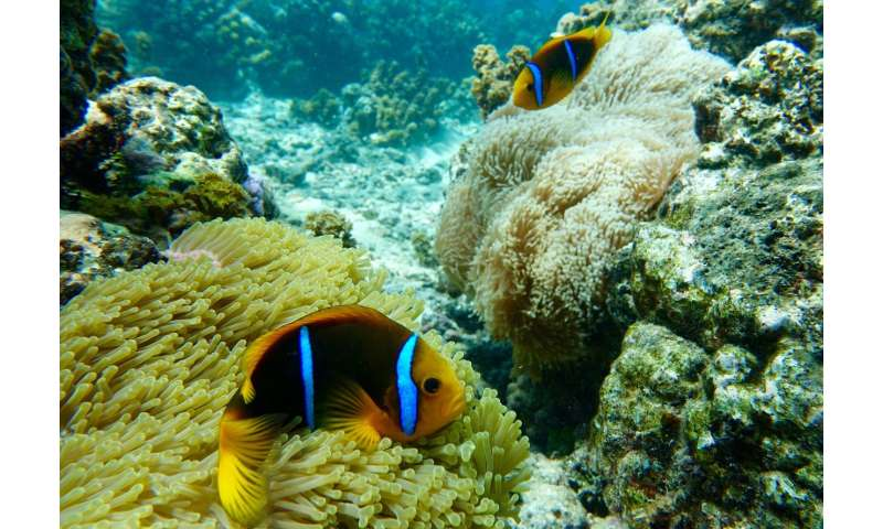 When anemones bleach, clownfish suffer