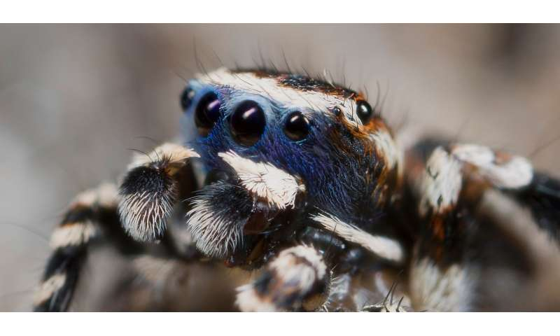 When jumping spiders show their true colors, biologist looks through the lens for the reasons